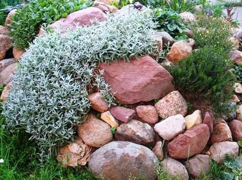 растения для альпинария фото