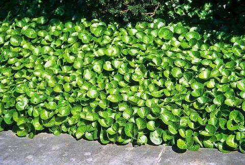 фото растения копытень