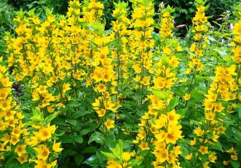 Вербейник цветы фото