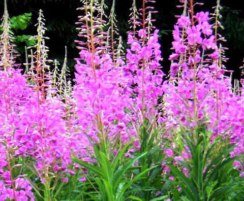 Кипрей цветок фото