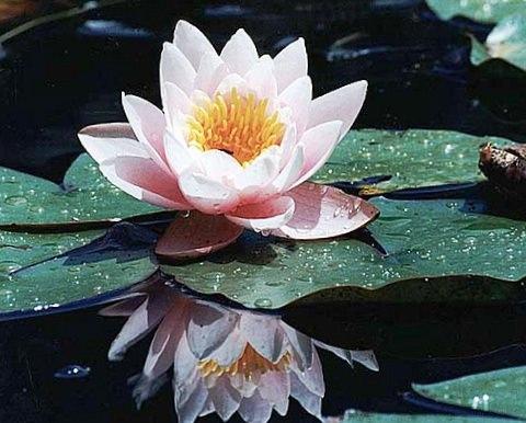 Фото цветок лотоса