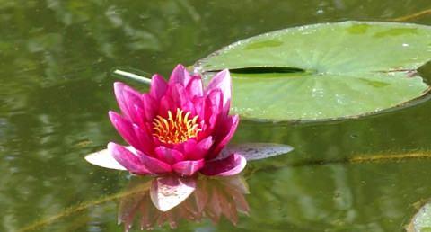 Лотос цветок в пруду фото