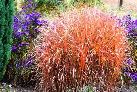 Miscanthus «Purpurascens»
