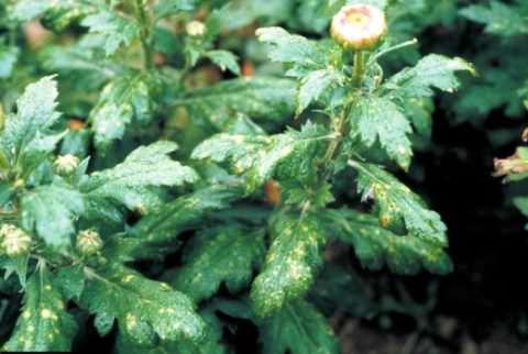 болезни хризантем фото