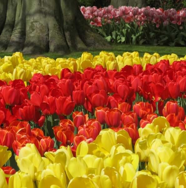 Тюльпаны гиганты