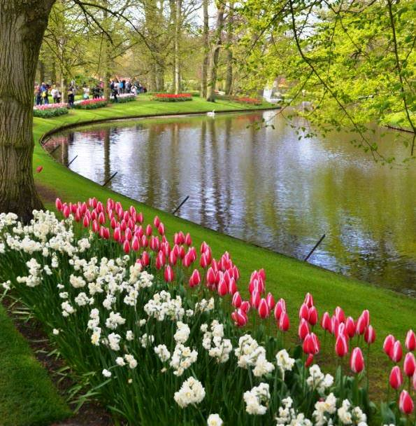 Тюльпаны вдоль канала