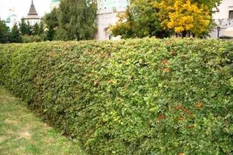 Живая изгородь из боярышника. Фото