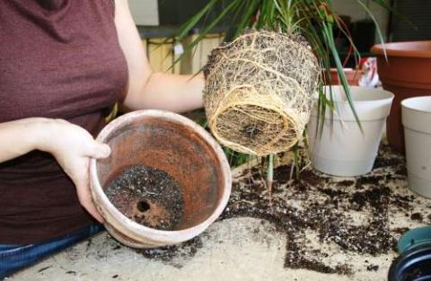 Спутанные корни растения. Воздержитесь от покупки