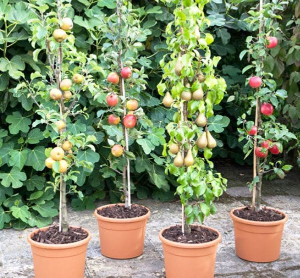 когда высаживают плодовые деревья