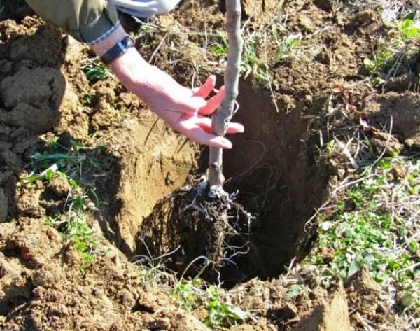 как высаживать деревья и кустарники