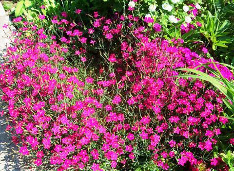 травянка гвоздика фото