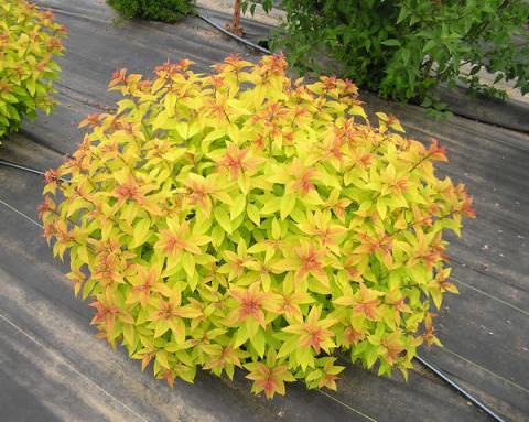 Спирея японская с оранжево-золотистой окраской – «Goldflame»