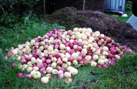 Можно ли в компост класть яблоки?