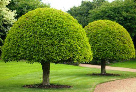 Деревья топиари фото 1