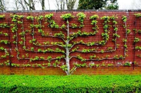 Дерево на шпалерах фото