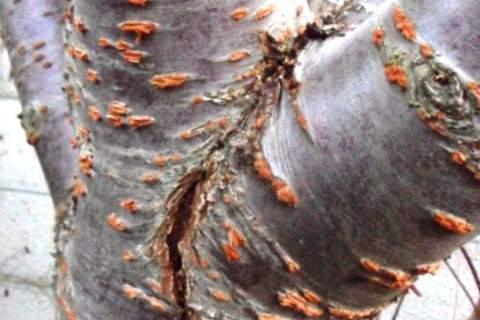 Трещины на коре дерева из-за мороза