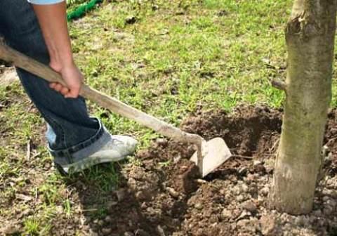 Рыхлим почву вокруг деревьев
