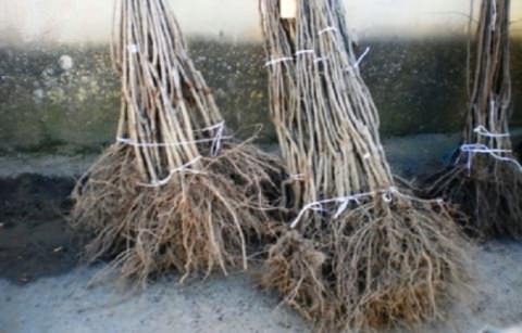 Саженцы деревьев фото 2