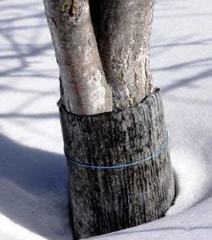 Защита дерева от грызунов